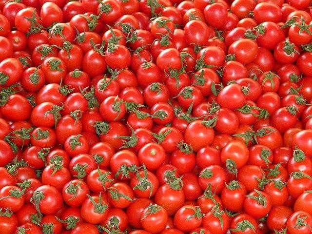 vzgoja paradižnika